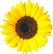 sunflower1846.jpg